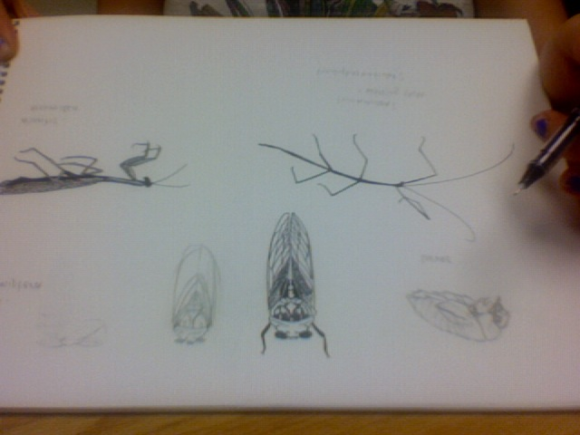 Insect Illustrations in progress, graphite and ink on paper