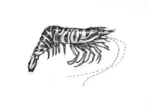 Tiger Prawn, ink on paper
