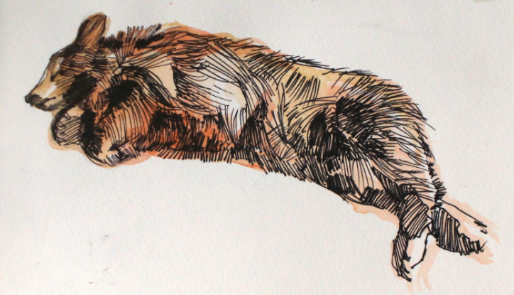 Pen and watercolour drawing of napping bear