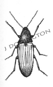 Click Beetle, ink on paper, 3 x 3""